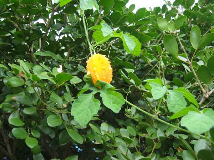 Bush Medicine Of Belize And Central America