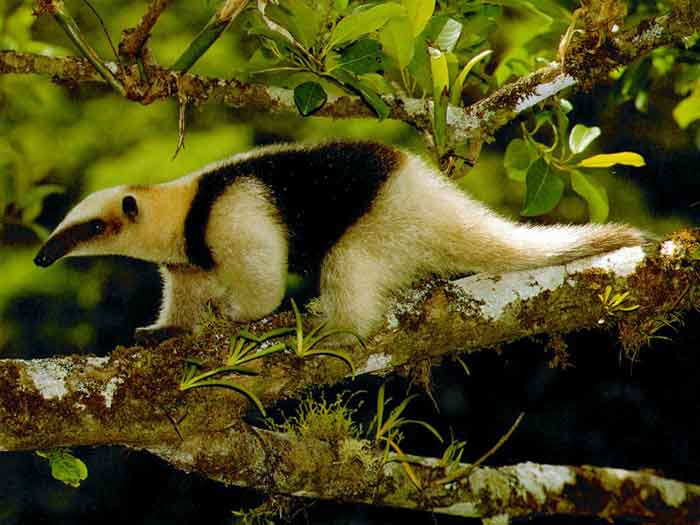 Omnivores of Belize: A Sampling of the Most Common Land Dwelling ...